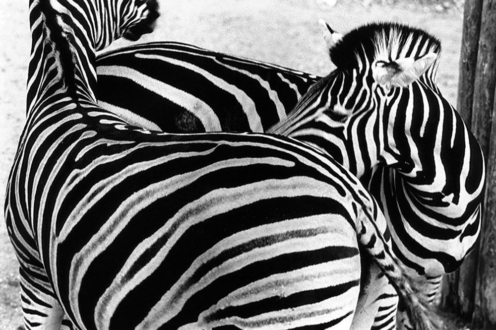 5-Zebras