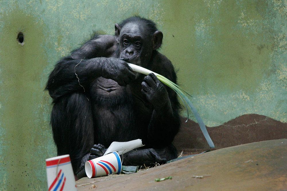 Schimpanse_Zoo-Zuerich